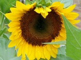 050904sunflower