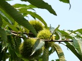 060903chestnuts