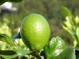 060927marine_lemon