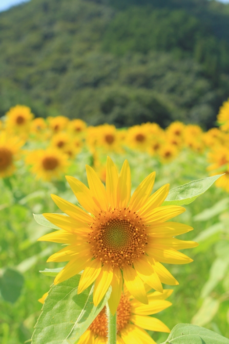 190916sunflower01