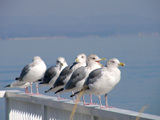 080106herring_gull