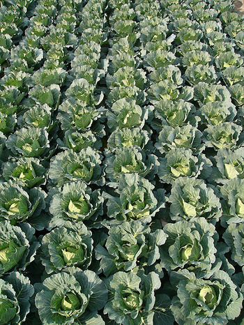 090117cabbage