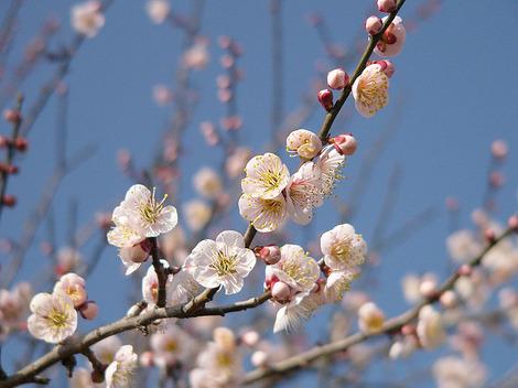 090211plum_blossom