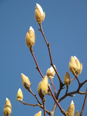 090301white_magnolia