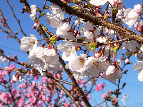 090326cherry_blossom