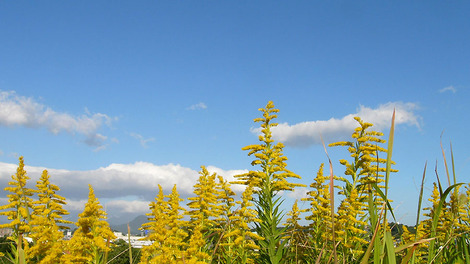 091018tall_goldenrod