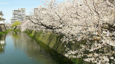 100330cherry_blossoms01