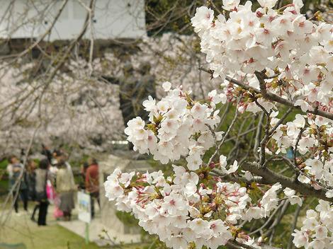 100330cherry_blossoms02