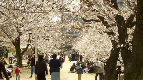 100330cherry_blossoms04