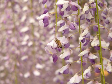 100505wisteria_flowers02