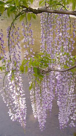100505wisteria_flowers03
