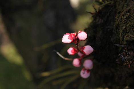 110313plum_blossom01