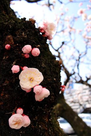110313plum_blossom02