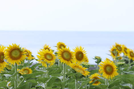 110817sunflower04
