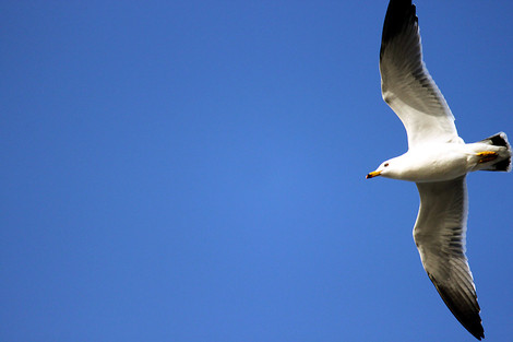 120401blacktailed_gull01