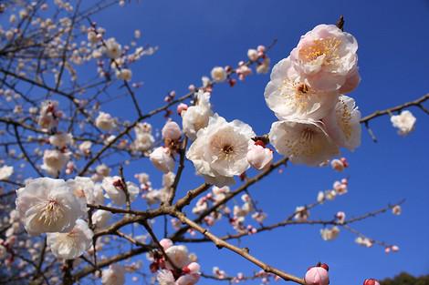130303plum_blossom00