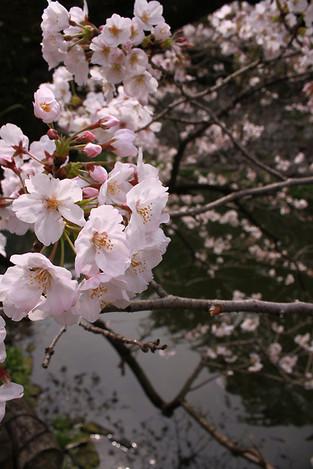 130323cherry_blossom11