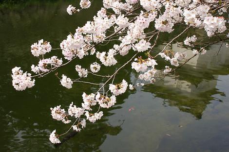 130323cherry_blossom12