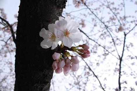 130323cherry_blossom21