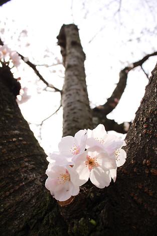 130323cherry_blossom23