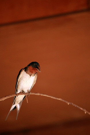 130505barn_swallow01