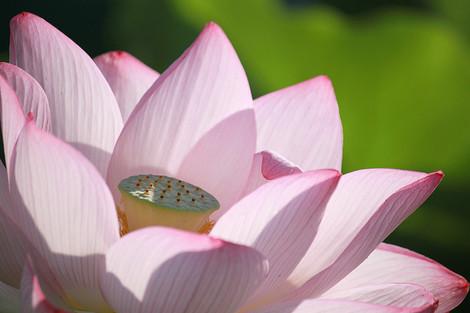 130713pink_lotus01
