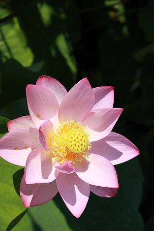 130713pink_lotus02
