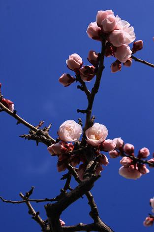 140221plum_blossom01