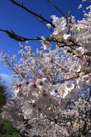 140330cherry_blossom01
