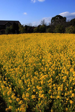 150124vivid_yellow01