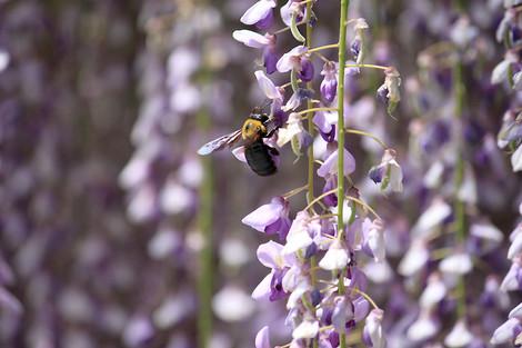 150502wisteria_flowers02