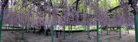 150502wisteria_flowers03