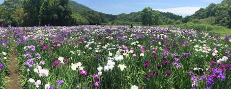 160618iris_garden01