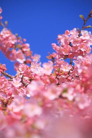 170219cherry_blossom01