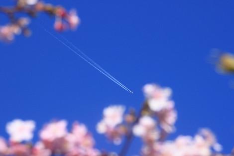 170219cherry_blossom03