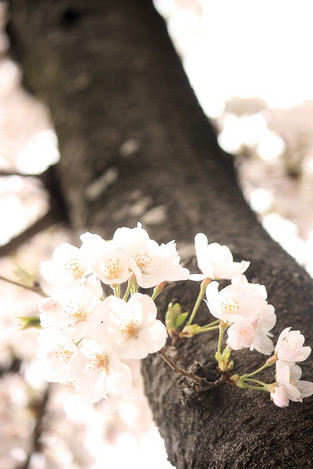 170409cherryblossom_front02