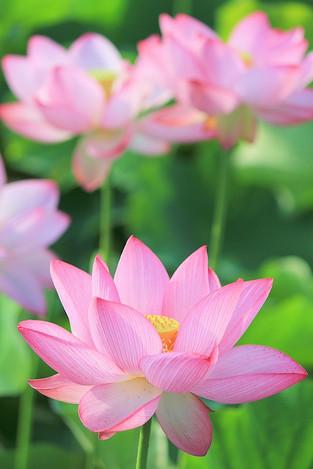 170701lotus_flower01