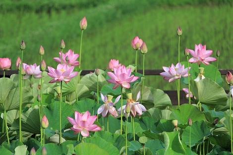 170701lotus_flower03