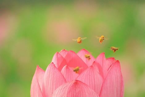 170704lotus_flower01