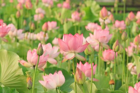 170704lotus_flower03