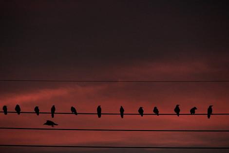 170804crow_flock01