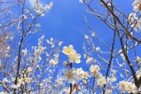 20180304plum_orchard02