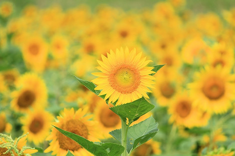 180818sunflower_field02
